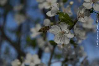 Honeybee Pollinating a Flowering Fruit Tree - 2 of 4 - DSC2795