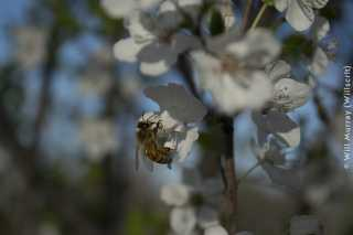 Honeybee_Pollinating_a_Flowering_Fruit_Tree_-_3_of_4_-_DSC2832.jpg