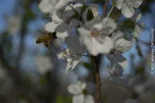 Honeybee_Pollinating_a_Flowering_Fruit_Tree_-_4_of_4_-_DSC2833.jpg