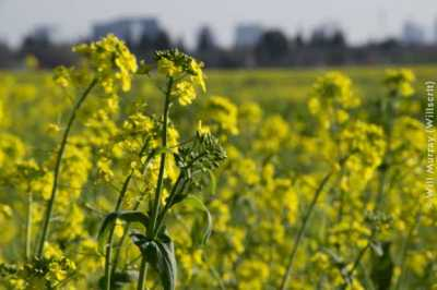 Mustard Fields in Natomas - DSC2333