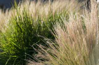 Decorative_Grasses_at_Sunset_-_DSC4561.jpg