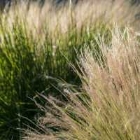 Decorative Grasses at Sunset - DSC4561